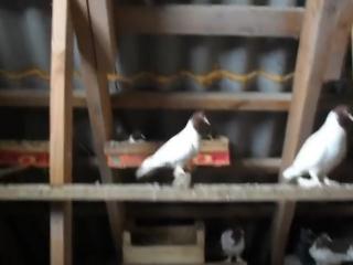иранские голуби красноголовые_HIGH