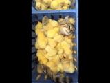 цыплячья ванна