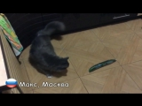 Русские коты НЕ боятся огурцов _ Russian cats not afraid of Сucumbers