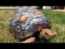 Черепахе изготовили новый панцирь на 3D-принтере