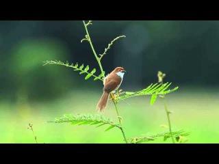Yellow-eyed babbler / Золотоглазая тимелия / Chrysomma sinense