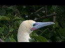 Красноногая олуша / Red-footed Booby / Sula sula