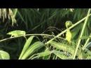 Green-rumped parrotlet / Зеленохвостый воробьиный попугайчик / Forpus passerinus