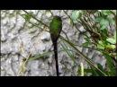 Black tailed trainbearer Чернохвостая лесбия Lesbia victoriae