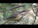 Spiny-cheeked honeyeater / Иглощёкий медосос / Acanthagenys rufogularis