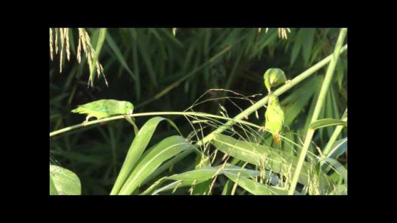 Green-rumped parrotlet / Зеленохвостый воробьиный попугайчик / Forpus passerinus » Freewka.com - Смотреть онлайн в хорощем качестве