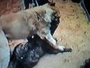Собачьи бои американский бульдог Пилат vs САО алабай ч. 2
