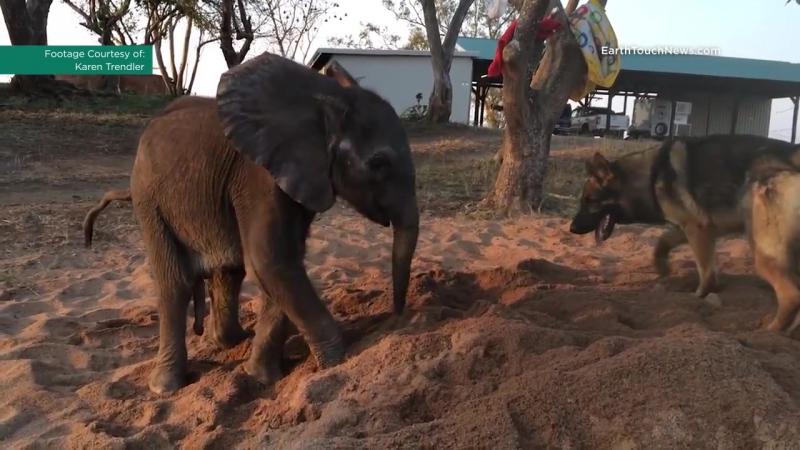 Собака помогает слоненку-сироте заново учиться радоваться жизни