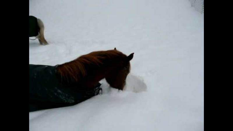 Stetson rolling in the snow horse playing in snow
