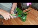 Как правильно поливать фаленопсис Домашняя орхидея бабочка Горшок Орхидея