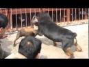 собачий бой ротвейлер рвет собак