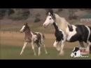 Цыганская упряжная порода лошадей (тинкер, ирландский коб)