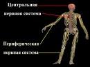 нервная система человека мышление поведение школы психологии консультация по скайпу