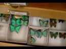 Коллекция бабочек в хранилище музея Живые палочники Entomology Collection Butterflies beetles