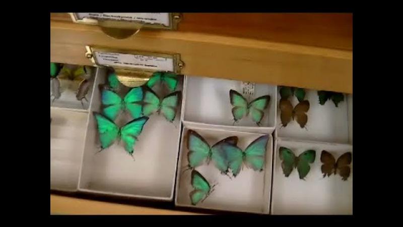 Коллекция бабочек в хранилище музея. Живые палочники. Entomology Collection. Butterflies, beetles.