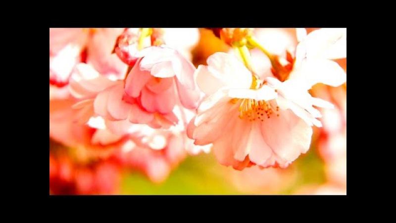 Сакура релакс. Красивая музыка для расслабления и медитации