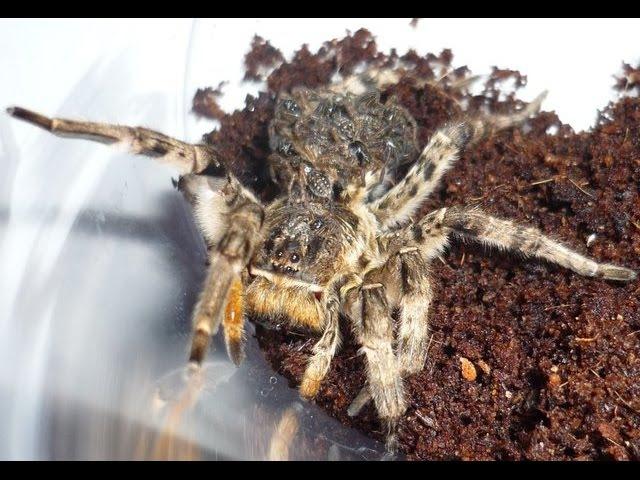 Южнорусский тарантул ловим тарантула на пластилин