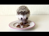 Гриша кушает микс из туркменских тараканов и домовых сверчков