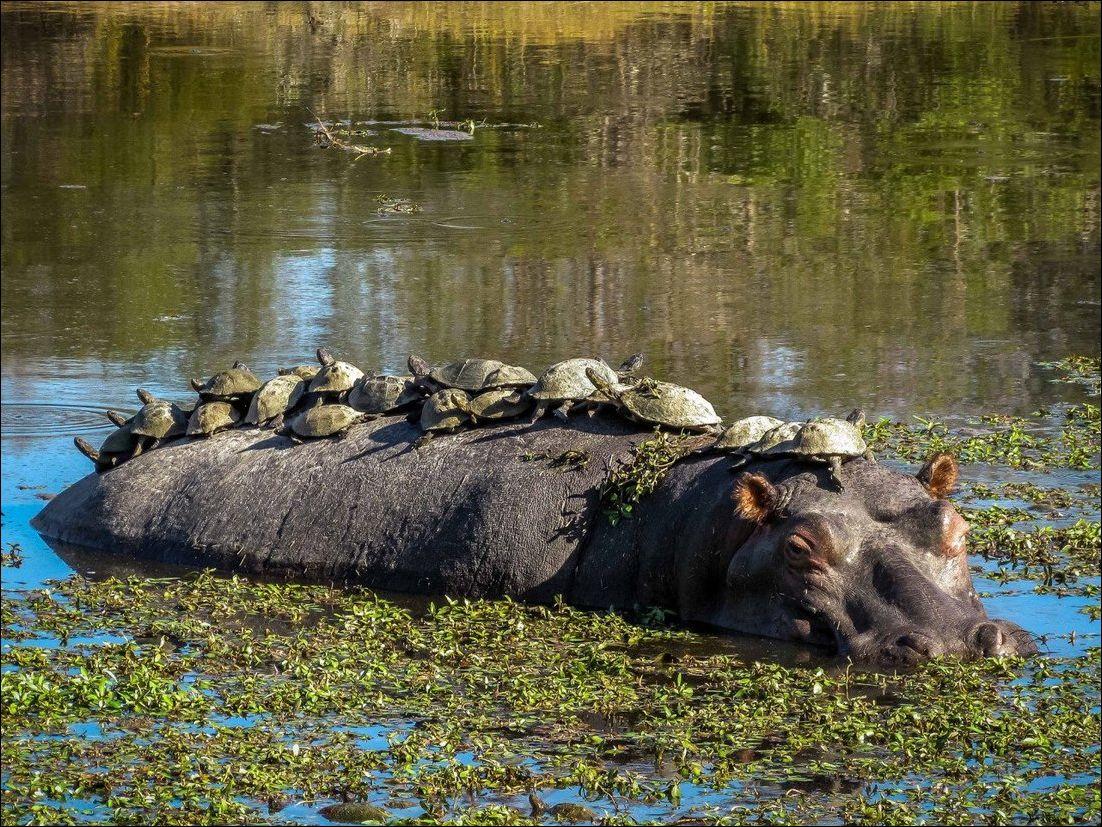 черепахи на бегемоте
