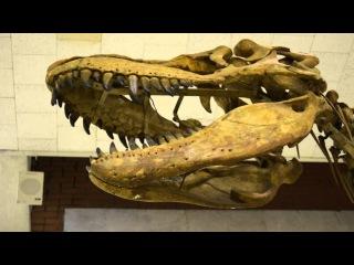 Скелет хищного динозавра тарбозавра (Tarbosaurus bataar Maleev)