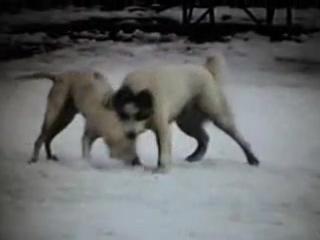 Собачьи бои американский бульдог Рокки vs КВ Акбай ч 1