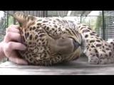 Большие кошки тоже любят, когда их гладят!