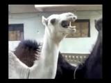 Лама, которая смеётся как Питер Грифин (Not Vine)