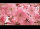 Когда цветёт миндаль