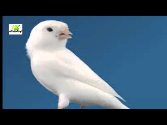 Canário belga canto campainha - canario maestro