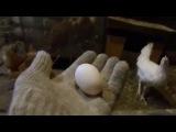 Куры. Итоги первого месяца. Ошибка при покупке. Первое яйцо.