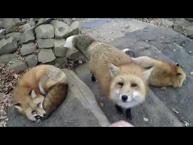 Путешествие в Miyagi Zao Kitsune Mura (Fox Village)