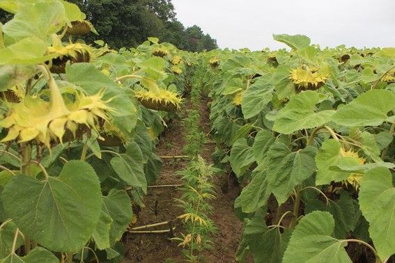На Буковині виявили засаджене рослинами коноплі поле