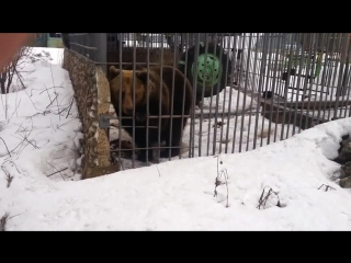 Мужчина с лишними руками решил поближе познакомиться с медведем и не прогадал!