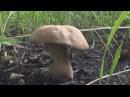 Белый гриб ПЕРВЫЙ в 2016 году И как жарить белые грибы Тайга охота сибирь рыбал