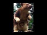 В Австралии показали первого за 36 лет детёныша кенгуру-древолаза