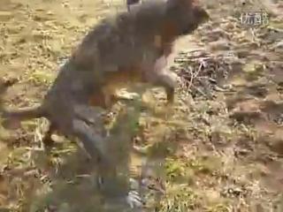 Собачьи бои канарский дог vs питбульстаффорд
