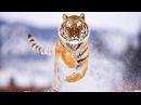 Амба Русский Тигр Animal Planet HD