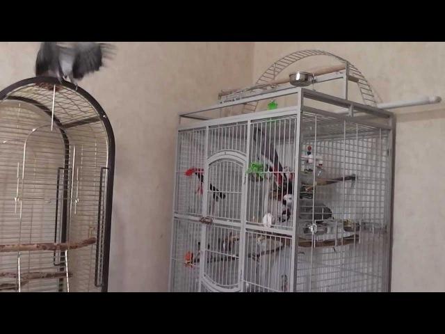 Попугай Григорий Ксюша и птенец жако 3 сезон 33 серия