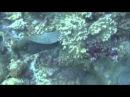 Мурена съедает акулу.(Красное море)