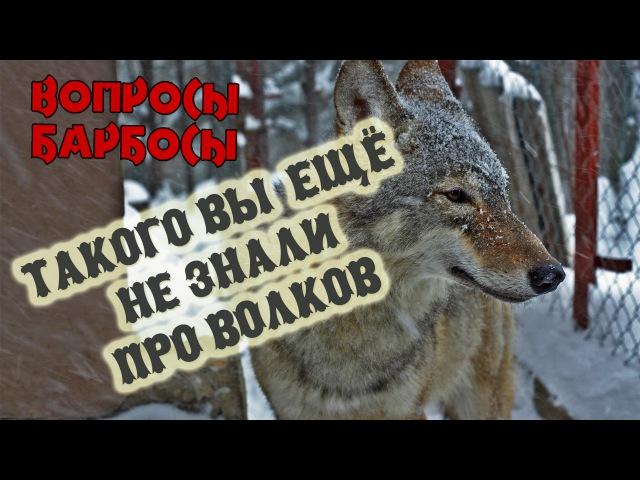Такого вы еще не знали про волков или как волк мешает снимать передачу Вопросы Барбосы