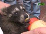 В Самарском зоопарке родился енот по имени Гомер