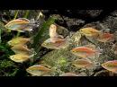 Congo Tetras Phenacogrammus interruptus