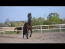 Kongress PKZ-FKSO Gillion PKZ - Kosta Rika PKZ/ Cornet Obolensky, 2011 y.b., stallion