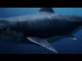 Самая большая акула в мире - Мегалодон