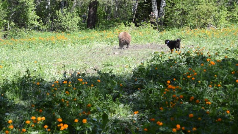 притравка на медведя ( лайки ).