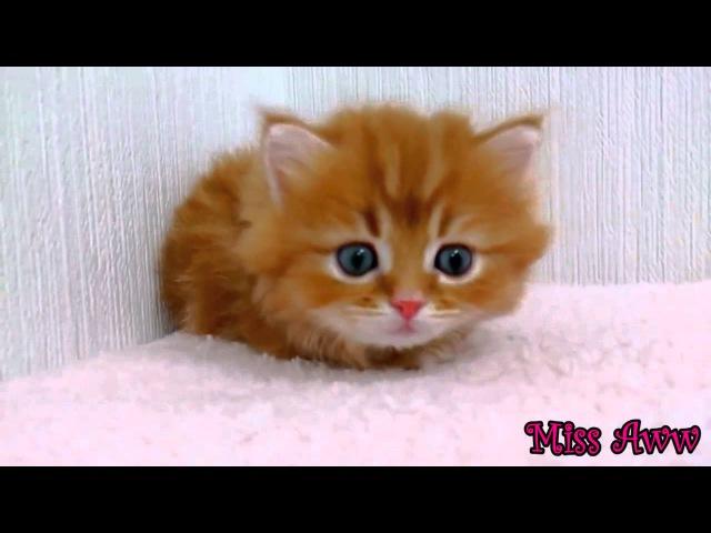 Флаффи миленький котенок с голубыми глазами