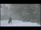 Elk licking salt on the road. Animals in Chernobyl