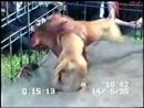 Собачьи бои GR CH RED ALERT ROM 5W питбуль терьеры