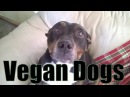 My Vegan Dogs Staffordshire Pit Bull Terriers