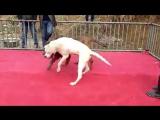 Собачьи бои тоса-ину vs аргентинский дог